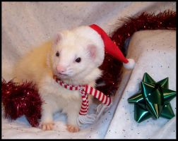 Merry Christmas, Ferret Style by LarissaAllen