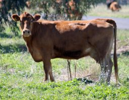 Cattle - stock - 12 by aussiegal7