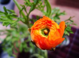 Ranunculus by MoreThanNothing