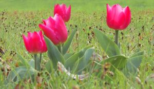 pink tulips by Didix1122