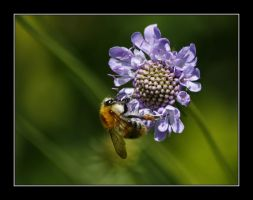 wild bee by elysawus