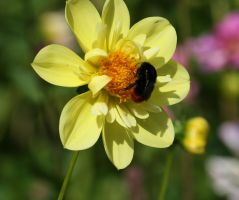 dahlia with insect by ingeline-art