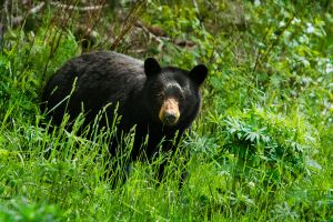 Bears on the Sea to Sky Hwy by Elijah-Snow
