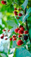 Berries and Leaves by Andashd