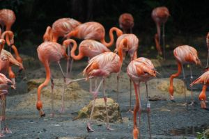 Caribbean flamingoes by Roses-and-Feathers