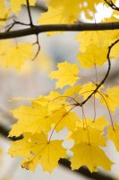 Maple leaves by Angelicc