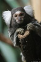 Common Marmoset by vetchyKocour