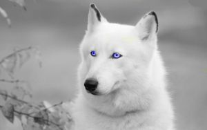 Pretty Edit White Wolf by JumpinWombango