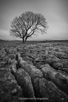 limestone tree by GMCPhotographics