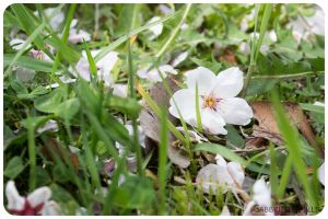 Cherry Blossoms 5 by moofestgirl