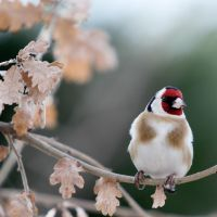 European Goldfinch by dukefsc