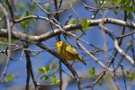 yellow warbler male at Mill Pond by BlueSolitaire
