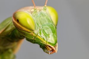 Mantis Portrait II by dalantech
