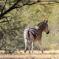 Walking Stripes by Lelanie