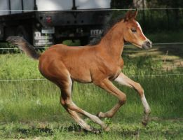 Arabian Foal 007 by Notorious-Stock