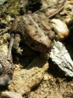 Camouflaged Toad by JeanLuc761