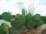 Cactus by discountabortions