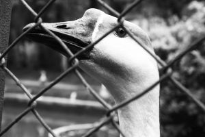 A duck. by sNiK7