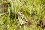 Leopard Frog 2 by ScooterboyEx221
