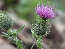 Thistle by Duffy70