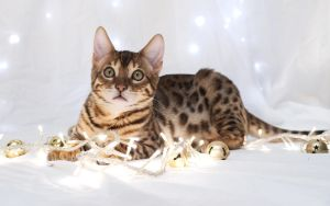 Festive Bengal Kitten Stock 1 by FurLined