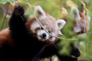 0470 - Baby Red Panda by Jay-Co