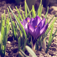 .:Deep purple crocus:. by bogdanici