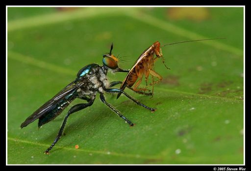Robberfly with Prey by garion