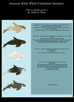 ADOPT Antarctic Killer Whale Coloration Variation by WeisseEdelweiss