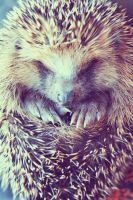 hedgehog baby 3 by Emiliee91