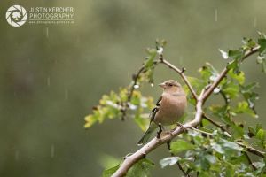Chaffinch in the Rain by Neutron2K