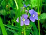 Veronica Bird's Eye Speedwell ~ in the wild by valmont1702
