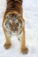 Snow Tiger II by Sagittor