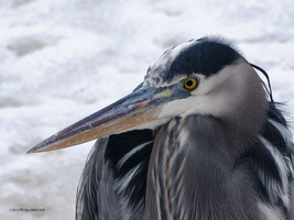 Heron up close in Winter by Mogrianne