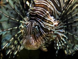 Aquatic Stock 7: Lionfish by HOTNStock
