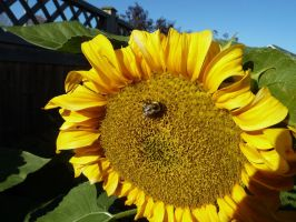 2013 Sunflowers 5 by Vitacus