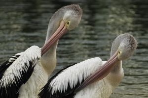 Synchronised Pelicans by Dryad-8