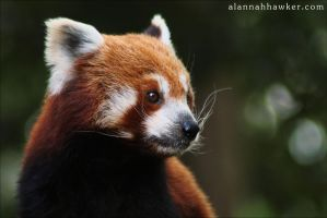 Red Panda 03 by Alannah-Hawker