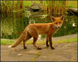 Fox Number 1 by SMALLBROWNFISH