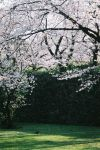 A bird enjoys cherry blossoms by freyiathelove
