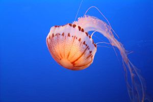 Jellyfish by KathyHW