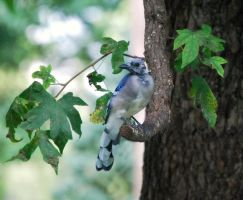 Molting Blue Jay by jennalynnrichards