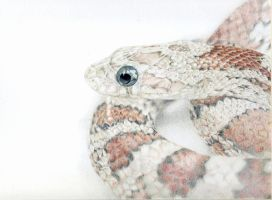 Corn Snake - Prismacolor Pencils by icantthinkofaname-09