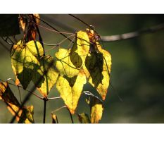 clematis leaves by 13-septembre