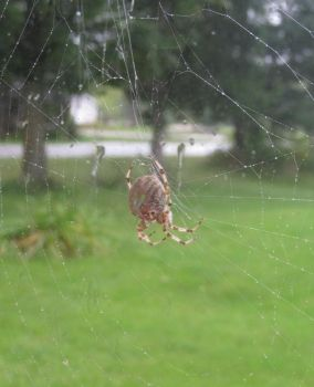 Spider in the Rain by DawnMLC