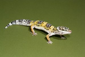 Leopard gecko stock by A68Stock
