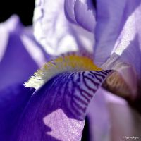 Iris Violet Veloute I by hyneige