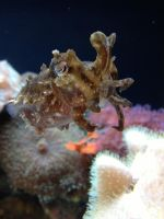 Seattle Aquarium - Dwarf Cuttlefish by breannemarie