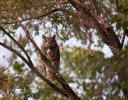 Great Horned Owl by madrush08
