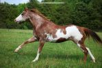red roan overo paint horse 2 by venomxbaby